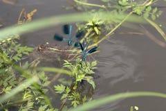 Dragonflys verdes Imagem de Stock