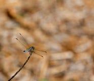 DragonflyWide火焰状桃红色火鸟 免版税库存图片