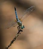 DragonflyWide που φλέγεται το ρόδινο φλαμίγκο Στοκ Εικόνα