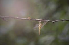 DragonflyYellow lizenzfreie stockfotos