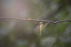 DragonflyYellow fotografie stock libere da diritti