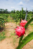 Dragonfruit farm stock images