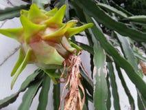 Dragonfruit non maturo Immagine Stock