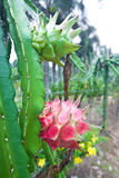 Dragonfruit on plant in orchard Royalty Free Stock Photography