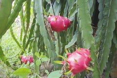 Dragonfruit sur l'arbre de dragonfruit Images libres de droits