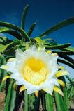 Dragonfruitflower Stock Photos