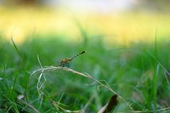 Dragonfty, blue tailed damselfly , wings colourful, colourful insect, Royalty Free Stock Images