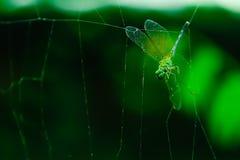Dragonrfly em uma Web de aranha fotografia de stock royalty free
