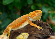 Dragons barbus rouges Photos stock
