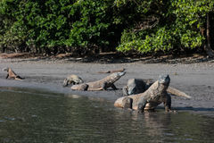 Dragons de Komodo Images libres de droits