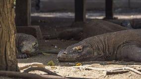 Dragons de komodo paresseux à la nuance Image stock