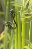 Dragons Regeneration. Dragonflies mating Royalty Free Stock Photo