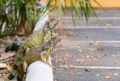 Dragons sur une restriction Photo stock