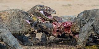 The dragons tore prey. The Komodo dragon, Scientific name: Varanus komodoensis, is the biggest living lizard in the world. Natural. Habitat. On island Rinca stock photography