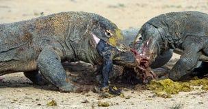 The dragons tore prey. The Komodo dragon, Scientific name: Varanus komodoensis, is the biggest living lizard in the world. Natural Habitat. On island Rinca royalty free stock photos