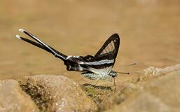 Dragontail Butterfly, Lamproptera meges, Garo hills
