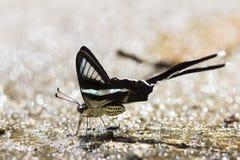 Dragontailvlinder Royalty-vrije Stock Afbeelding