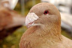 Bird. Dragoon pigeon Royalty Free Stock Photos