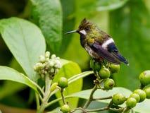 Draht-mit Haube Thorntail Popelairia popelairii Stockbilder