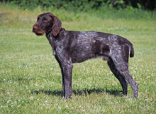 Drahthaar собака Стоковое Изображение