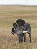 Drahthaar hunting dog Royalty Free Stock Photo
