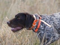 Drahthaar hunting dog Stock Photos