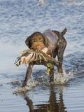 Drahthaar Jagd-Hund lizenzfreie stockfotos