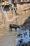 Drainage canal  in India. Crows and cow rummaging through the sewage in a canal that flows through the slums of Coonoor, India Stock Photography
