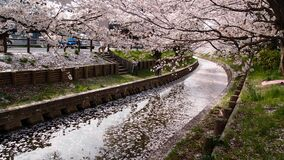 Drainage Between Cherry Blossom Tree during Daytime Stock Photo