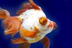 Drakeögonguldfisk i fiskbehållare Arkivfoton