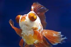Drakeögonguldfisk i fiskbehållare arkivfoto
