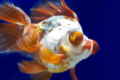 Drakeögonguldfisk i fiskbehållare royaltyfria bilder