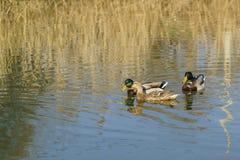 2 Drake и мужчины утки и женский lat крякв Platyrhynchos Anas, птицы отрыва утиные семьи утки waterf Стоковое фото RF