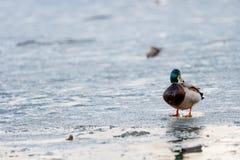 Drake anda através do gelo de derretimento da lagoa no parque na primavera no por do sol em abril imagem de stock
