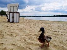 Drake auf dem Strand Lizenzfreies Stockbild