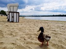 Drake on the beach. Drake on the beach of Strandbad Wannsee, Berlin, Germany royalty free stock image