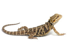 Bearded dragon. On White Background stock image
