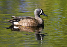 Drake Blue-winged Teal Royalty Free Stock Image