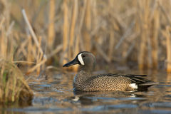 Drake Blue Winged Teal Lizenzfreies Stockbild