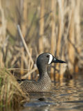 Drake Blue Winged Teal Fotos de Stock