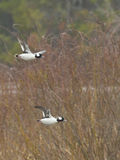 Drake Bufflehead Ducks Stock Photo