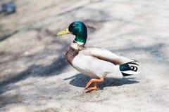 Drake, cute bird on wildlife background Royalty Free Stock Photos
