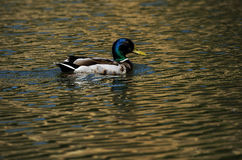 Duck. Cute duck swimming in the evening sun and golden water Royalty Free Stock Photo