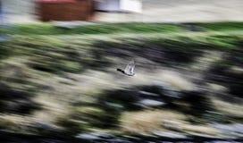 Drake, das über das Wasser fliegt, unscharfer Hintergrund Stockfotos