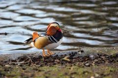 Drake del pato de mandarín de la cara de una charca Imágenes de archivo libres de regalías