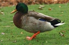 Drake del pato silvestre Fotos de archivo libres de regalías