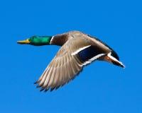 Drake del pato silvestre en vuelo Foto de archivo libre de regalías
