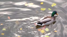 Drake diving under water several times among fallen autumn leaves stock video