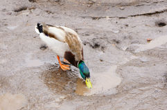 Drake drinks water. In a muddy puddle Royalty Free Stock Photo