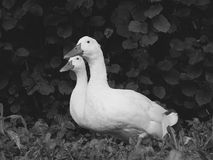 Drake And Duck bianco Fotografia Stock